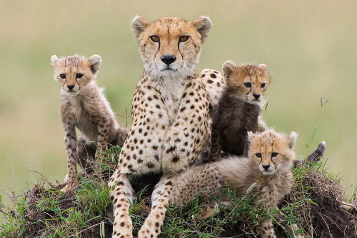 holmes cheetah 052721
